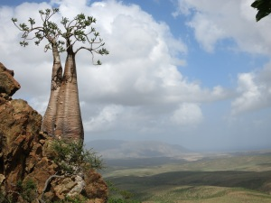 The peculiar bottle tree (Soqotri: triymu). One of many endemic arboreal species on the island